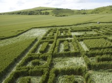 East Field Alton Barnes , Wiltshire | 3rd July 2005 | Wheat P2