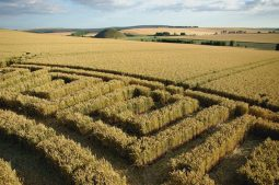 Waden Hill, Wiltshire | 16th July 2005 | Wheat P