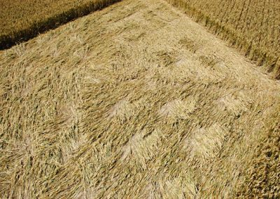Wayland's Smithy, Oxfordshire | 8th July 2006 | Wheat P5