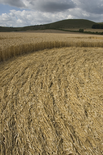 East Field Alton Barnes, Wiltshire | 28th July 2006 | Wheat GRD