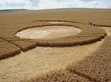 East Field Alton Barnes, Wiltshire   28th July 2006   Wheat P2
