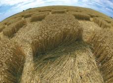 Blowingstone Hill Nr Kingston Lisle, Oxfordshire | 5th August 2006 | Wheat P