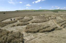 Stanton St Bernard, Wiltshire | 19th July 2007 | Wheat P2