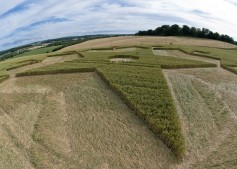 Chisbury Ring near Chisbury, Wiltshire   3rd July 2010   Wheat P2