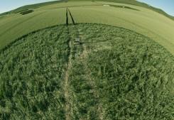 Stanton St Bernard, Wiltshire | 21st June 2011 | Wheat P3
