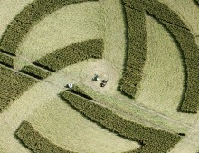 Milk Hill, Wiltshire | 8th July 2011 | Wheat 2nd Stage CL