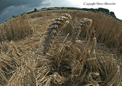 Windmill Hill, Wiltshire | 26th July 2011 | Wheat DET5