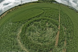Frome, Somerset   17th June 2012   Wheat P4