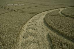 Milk Hill near Stanton St Bernard, Wiltshire   5th August 2012   Wheat P5
