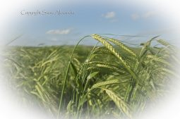 Silbury Hill, Wiltshire | 29th June 2013 | Barley EF