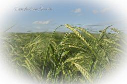 Silbury Hill, Wiltshire | 29th June 2013 | Barley EF