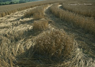 Etchilhampton Hill, Wiltshire | 19th August 2013 | Wheat GS5