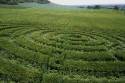 Bratton Castle, Wiltshire | 6th June 1995 | Barley | P 35mm Neg Scan