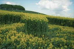 Furze Knoll, Wiltshire | 7th May 1994 | Oilseed Rape GS 35mm Neg Scan