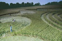 Litchfield, Hampshire | 6th July 1995 | Wheat | P2 35mm Neg Scan