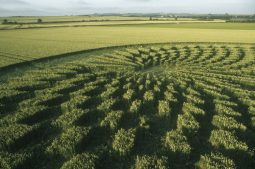 Avebury Trusloe, Wiltshire   22nd July 2000   Wheat P 35mm
