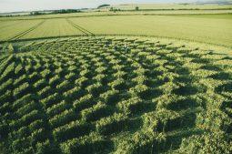 Avebury Trusloe, Wiltshire   22nd July 2000   Wheat P4 35mm