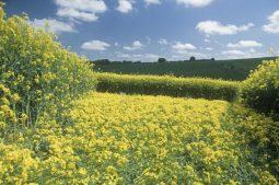 Lockeridge, Wiltshire   13th May 2000   Oilseed Rape G2 35mm