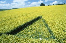 Lockeridge, Wiltshire   13th May 2000   Oilseed Rape G 35mm