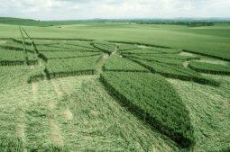 Milk Hill, Wiltshire   1st July 2000   Wheat P2 35mm