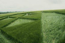 Silbury Hill, Wiltshire   12th June 2000   Barley P2 35mm