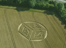Ockley Hill, Merstham, Surrey   19 07 15 Wheat L
