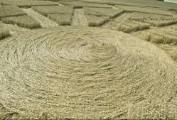 Ox Drove, nr Bowerchalke, Wiltshire   8th August 2015   Wheat DE