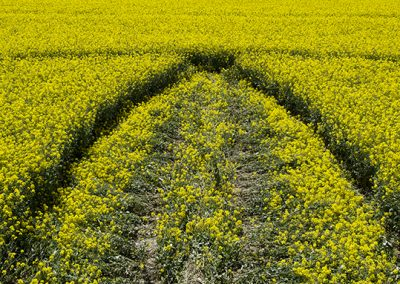 Willoughby Hedge, Wilts | 8th May 2018 | Oilseed Rape | L4