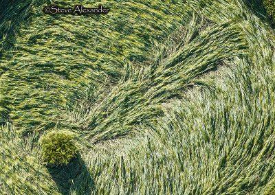 Yarnbury Castle Hillfort, Wilts   3rd July 2019   Barley   SCCL